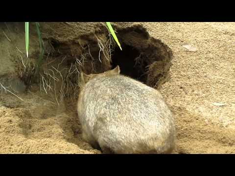 Wombat burrowing - Australia Zoo, QLD