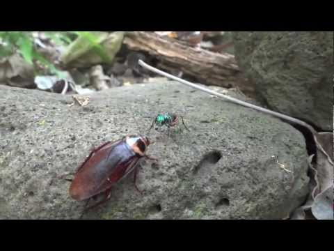 Wasp walks Zombie Roach