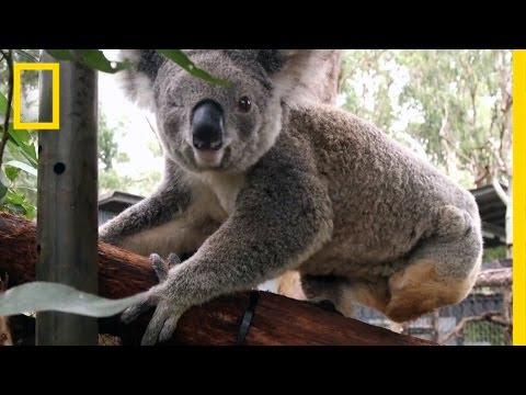 Koala Chlamydia Is a Big Problem in Australia | National Geographic