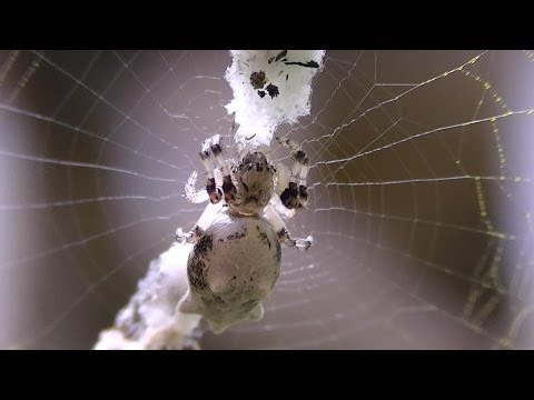 White Cyclosa Trashline Spider (Araneidae)