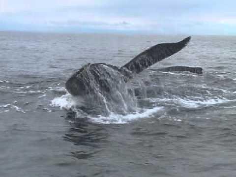 Humpback whales - lunge feeding