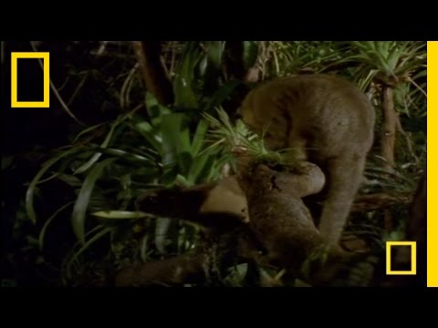 What In the World Is a Kinkajou? | National Geographic