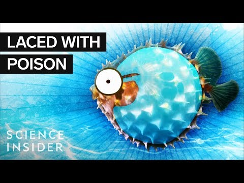 What's Inside A Puffer Fish?