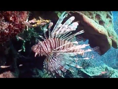Venomous Lionfish | Oceans | BBC Earth
