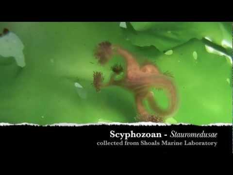 Stauromedusae - Marine Scyphozoan