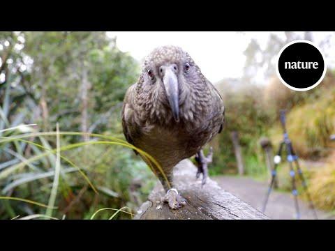 The parrots that understand probabilities
