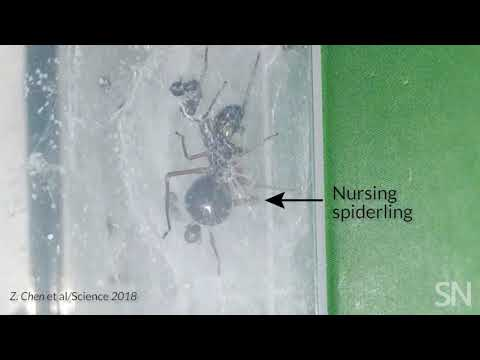 This small jumping spider is nursing her young with milk | Science News