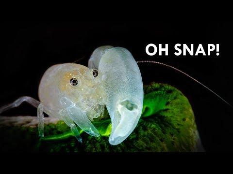 Pistol Shrimp: The Super-Powered Crustacean