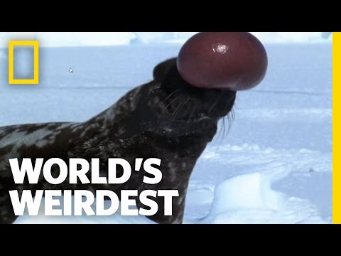 Hooded Seal | World's Weirdest