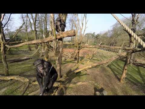Chimpansees halen drone naar beneden en filmen elkaar! | Chimpanzee