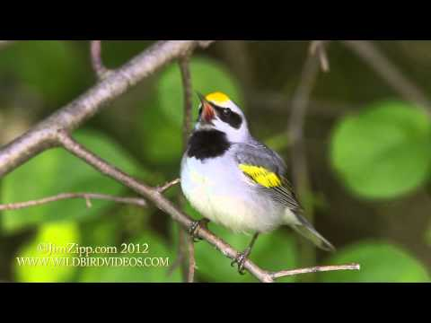 """Golden-winged Warbler sings the """"Blues"""""""