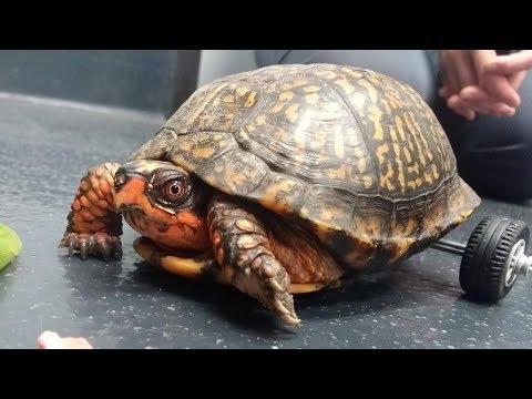LSU Veterinarians Get Pedro the Turtle Moving