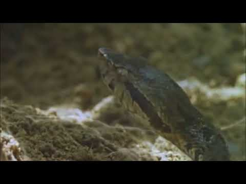 Goliath Tarantula Vs Fer de lance Snake
