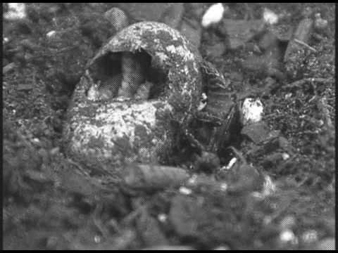 Burying beetle exploiting a snake egg
