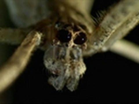 Ogre-Faced Spider vs. Soldier Ant | Monster Bug Wars