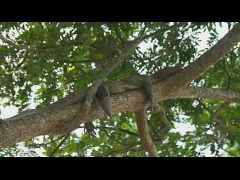 Crocodiles Can Climb Trees: Researchers In Climbing Study Observed