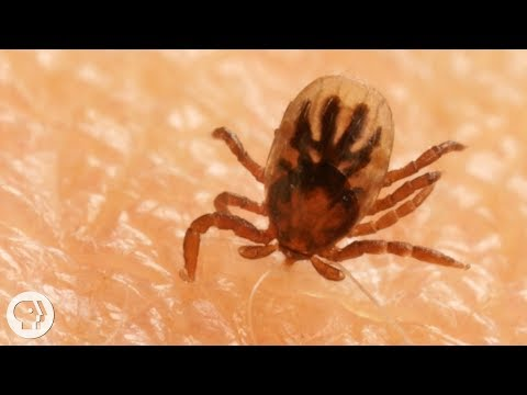 How Ticks Dig In With a Mouth Full of Hooks | Deep Look