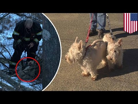 Dog rescue: Scottish terrier saves canine companion in real-life 'Lassie' story - TomoNews