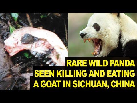 Rare Wild Panda Seen Eating GOAT In China