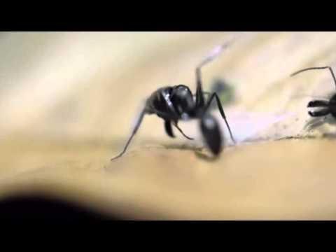 Dohrniphora flies decapitating Odontomachus ants