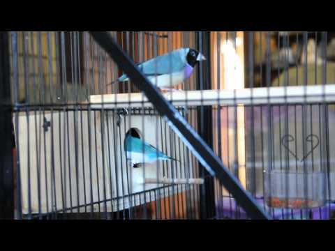 Lady Gouldian Finches nesting dance