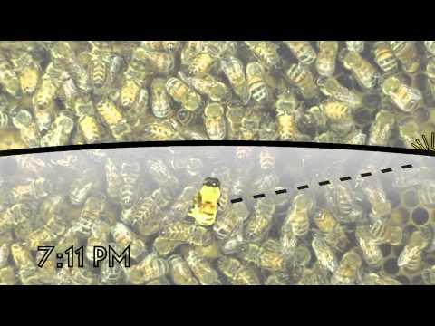 The Waggle Dance of the Honeybee