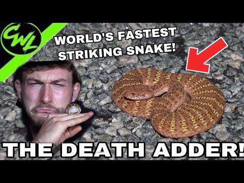 WORLD'S FASTEST STRIKING SNAKE, THE DEATH ADDER!!!