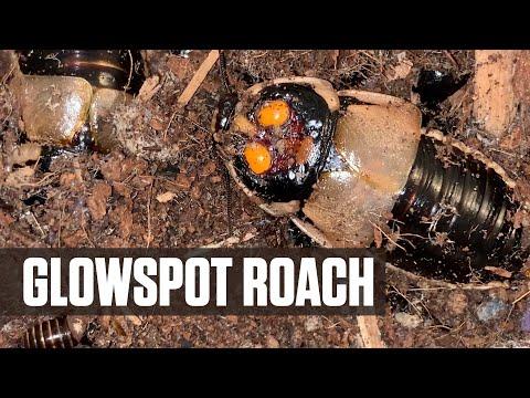 Glowspot Roaches Lucihormetica subcincta