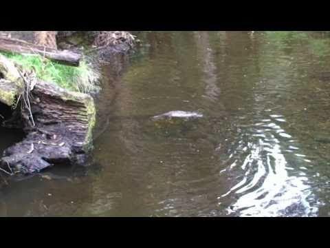 Platypus Swimming, hunting and Feeding [HQ]