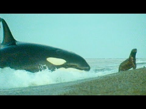 Killer Whales Playing with Their Prey   Trials Of Life   BBC Earth