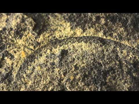 Graptolite Fossils