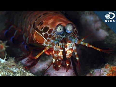 How Can Mantis Shrimp Help Fight Cancer?