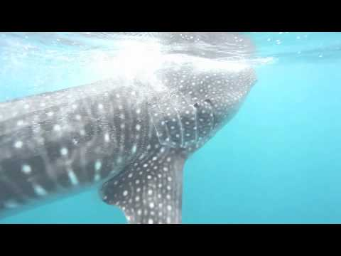 Whale Shark feeding on plankton in the Maldives, June 2012
