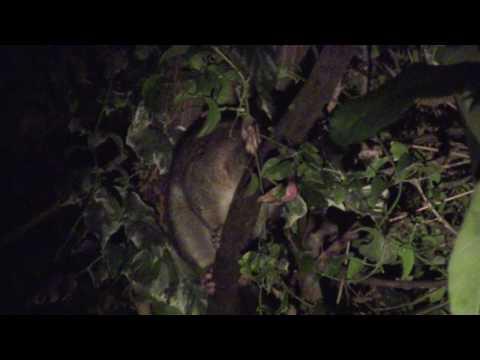 Brushtail possum making wierd noises