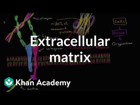 Extracellular matrix | Structure of a cell | Biology | Khan Academy