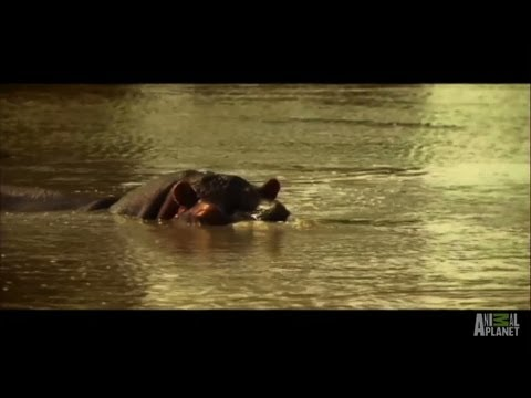 Farmer Falls Victim to Hippo's Rage | Fatal Attractions