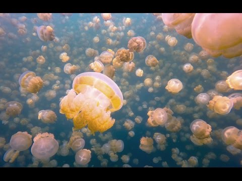 My Surreal Swim With Millions of Jellyfish