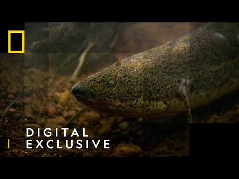 The African Lungfish | National Geographic UK
