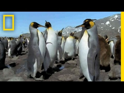 Mutant All-Black Penguin Found | National Geographic
