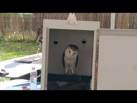 The screams of a barn owl