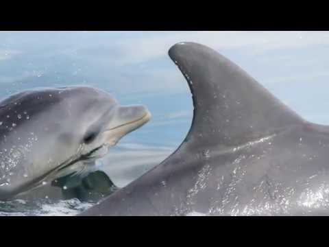 """Dolphins Learn Foraging Skill """"Shelling"""" from Peers / Curr. Biol., June 25, 2020 (Vol. 30, Issue 15)"""
