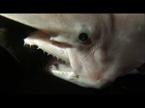 Rare Footage Of Goblin Shark With Alien-like Jaws | SHARK WEEK
