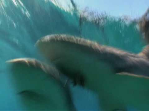 Sharkman - Tonic Immobility