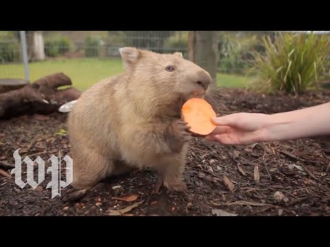 Why is wombat poop cube-shaped? Researchers reveal its mystery.