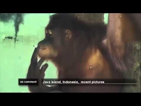 Tori the Smoking Orangutan to be Sent to Rehab