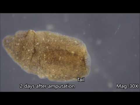 Planaria Regeneration Time-lapse