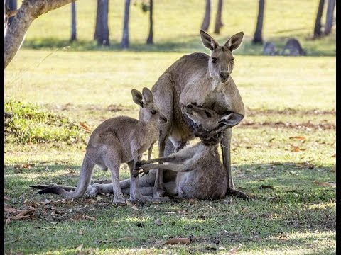 Kangaroo hugs her baby moments before she dies