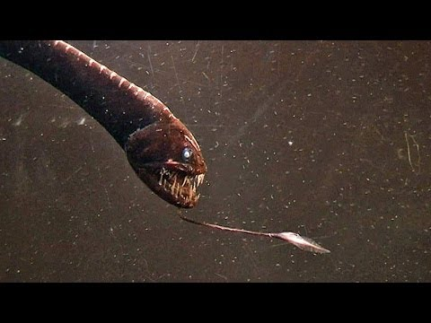 Dragon with massive teeth: the Deep Sea Dragonfish or Viperfish