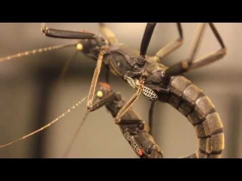 Black Beauty Stick Insects Mating- Peruphasma Schultei