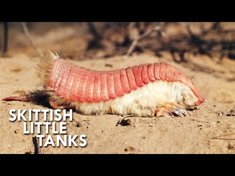 Pink Fairy Armadillos are Pint Sized Tanks